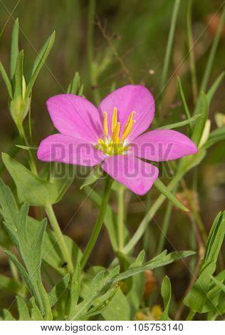 Meadow Pink, Sabatia campestris flower in summer