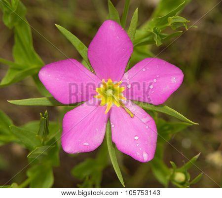 Sabatia campestris, Meadow Pink, or Texas Star, blooming is summer