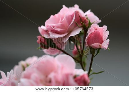 Pink Roses On Branch