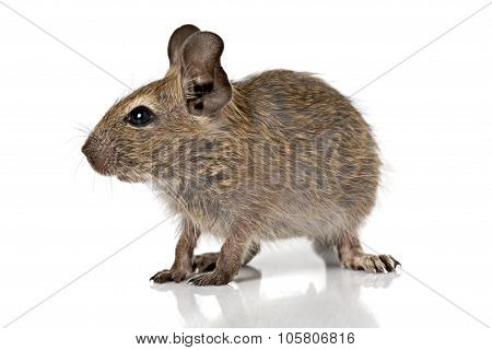 Cute Small Baby Rodent Degu Pet