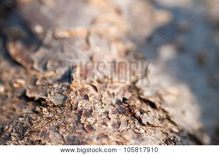 A Brown Ant On An Tree Trunk