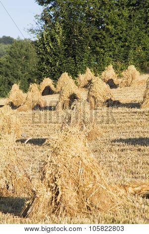 sheaves of oats