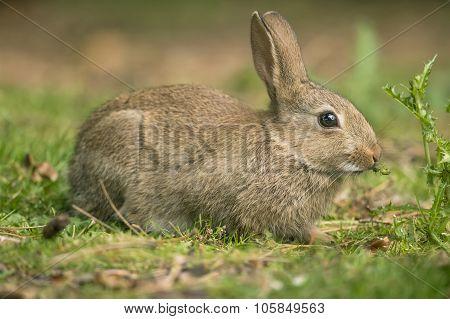 Grey Rabbit, Leporidae, lying on the grass, eatingg