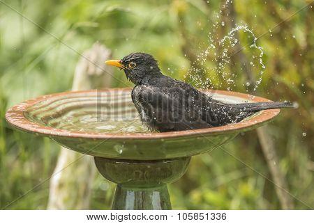 Blackbird Turdus merula male washing in a bird bath