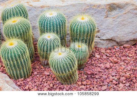 Cactus - Parodia Claviceps (cactaceae) Copyspace On The Right