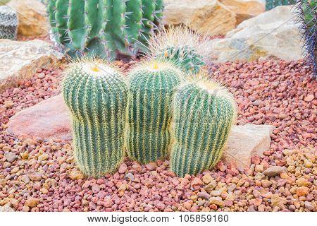 Cactus - Parodia Claviceps (cactaceae)