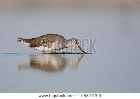 Common Redshank Swimming And Feeding In The Morning