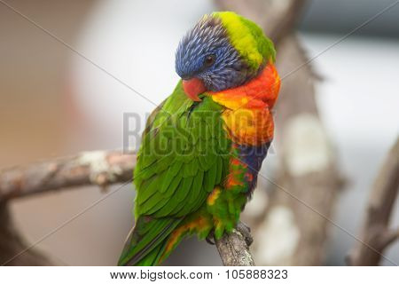 Colorful Rainbow Lorikeet Bird Perched On A Branch