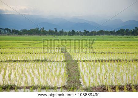 Rice Plant Farmers Planting Rice.