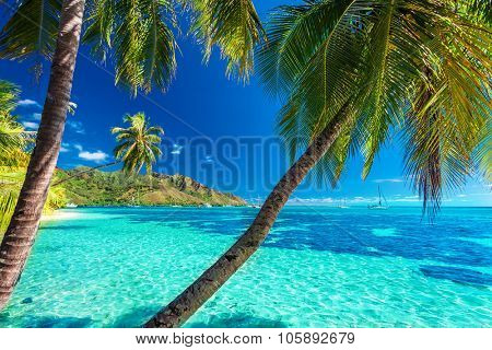 Palm trees on a tropical beach with a blue sea on Moorea, Tahiti island