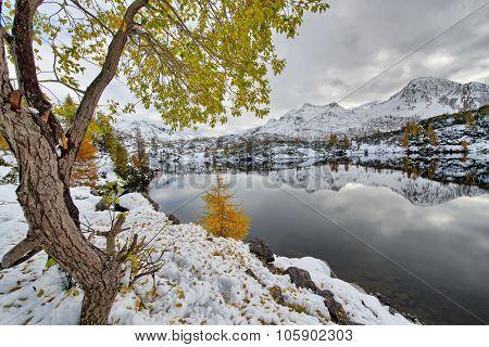 Larch Autumn Leaves Near The Alpine Lake