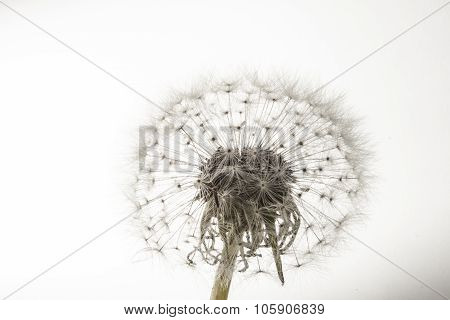 poster of A macro of an overblown fluffy dandelion