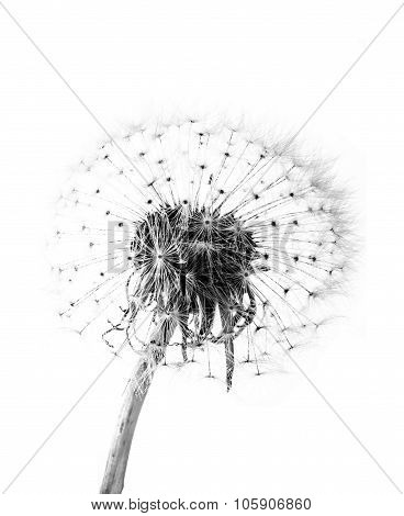 A macro of an overblown fluffy dandelion poster