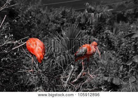 Two Scarlet Ibis Bw