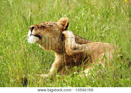 Lioness Ear Scartch