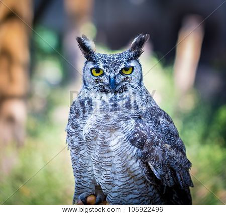 Great Horned Owl, Northern Quebec Canada