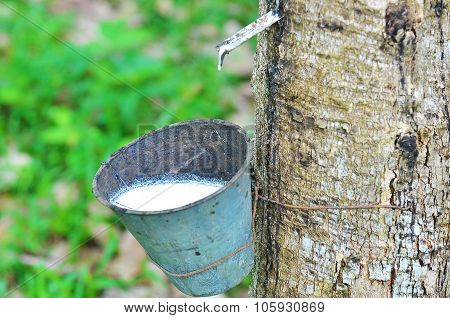 Rubber Latex Of Rubber Tree