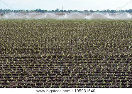 Irrigating Seedling Crops