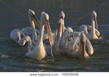 Dalmatian Pelicans Of Lake Kerkini Greece