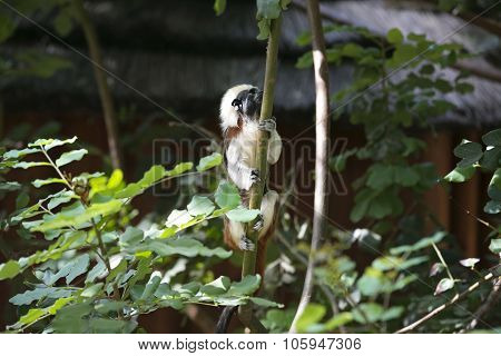 Cotton Headed monkey climbing in the trees poster