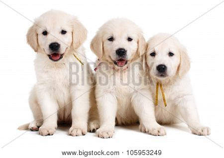 Three white Labrador puppy on white background