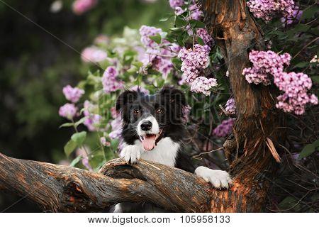 border collie dog portrait