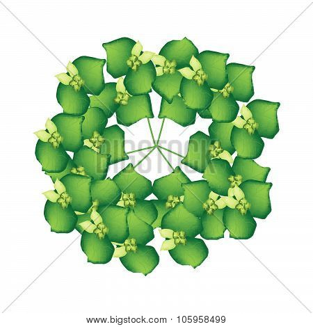 Cypress Spurge Or Euphorbia Cyparissias On White Background