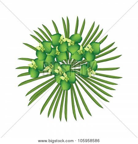 Green Cypress Spurge Or Euphorbia Cyparissias On White Background