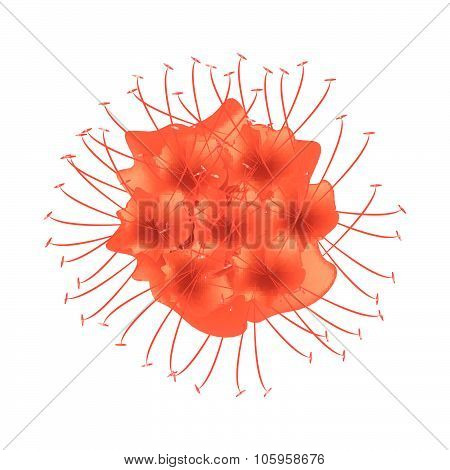 Scarlet Flame Bean Or Brownea Ariza Flower
