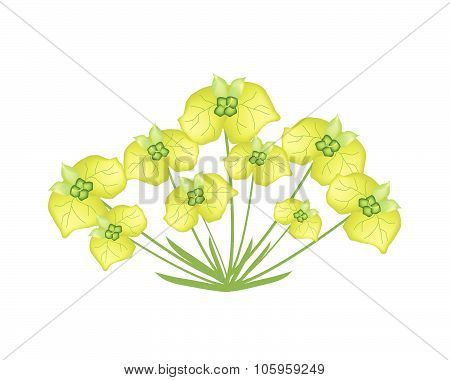 Yellow Cypress Spurge Or Euphorbia Cyparissias On White Background