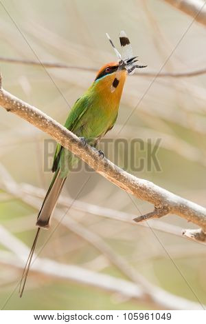 Böhm's Bee-eater (merops Boehmi) Proudly Holding A Dragonfly