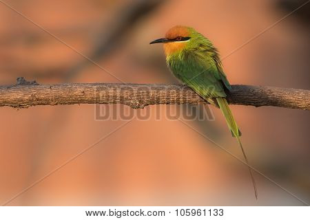 Böhm's Bee-eater (merops Boehmi) Sitting In The Early Morning Sun
