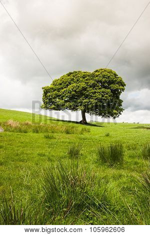 Lonely Tree On The Pasture In Yorkshire Dales