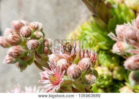 Flowering Houseleek With Bee (sempervivum Minutum)