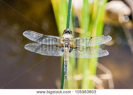 The Four-spotted Chaser (libellula Quadrimaculata)