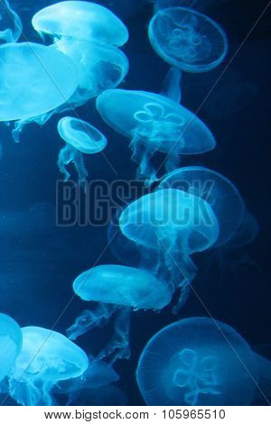 Moon Jellyfish swim underwater