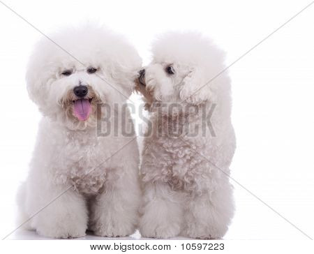 Two Happy Bichon Frise Dogs