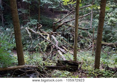 Fallen Trees in a Creek