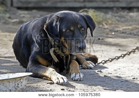 Big old dog on chain