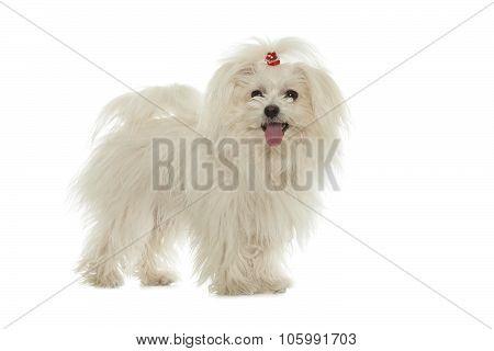 White Maltese Dog Isolated On White Background