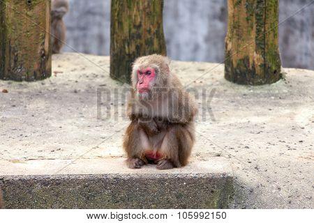 Japanese Macaque - Macaca Fuscata
