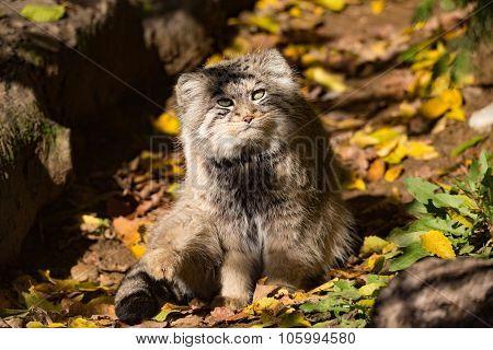Beautiful Wild Cat, Pallas's Cat, Otocolobus Manul