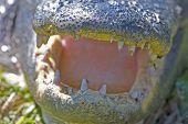 American alligator close-up portrait. Everglades National Park, Florida, USA. poster