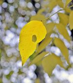 Fall. One yellow beautiful leaf of an ash-tree with a hole and red specks against blur stalks with yellow leaves and patches of light of damp air. poster