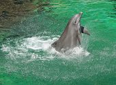 very elegant dolphin riding on turquoise water poster