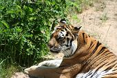 beautiful begal male tiger in sand looking for food poster