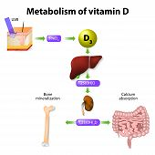 metabolism of vitamin D. synthesis of vitamin D3 in humans begins in the skin poster