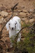 cute white goat kid looking into the camera poster