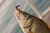 Hooked crucian carp close-up hanging on hook with worm bait poster