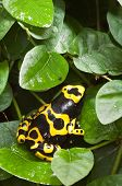 Black and yellow tropical poisonous frog of the rain forest poster